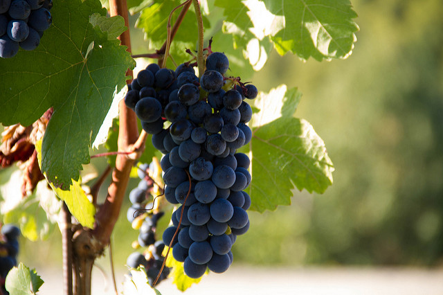 L'uva per il benessere di mente, pancia, gambe